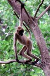 monkey-spider1.jpg