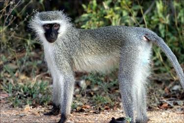 vervet-monkey.jpg